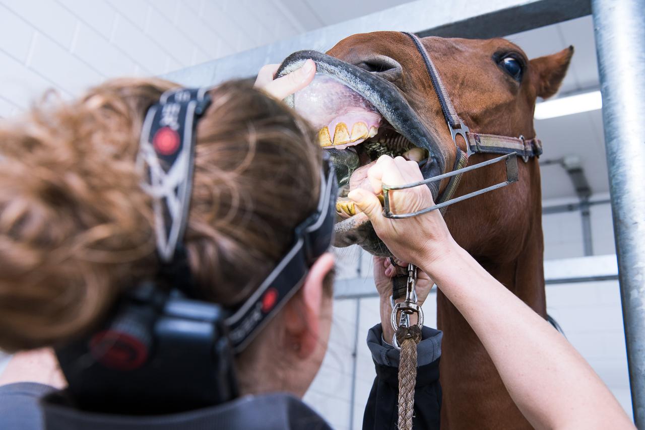Gebitsbehandeling Paardenkliniek De Veluwe